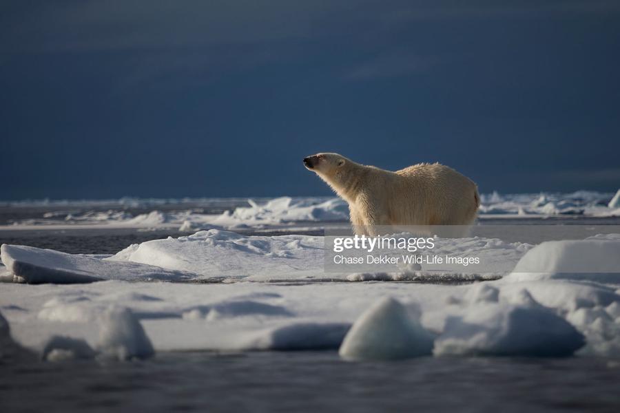 О тающей прямо на глазах России Polar-Bear