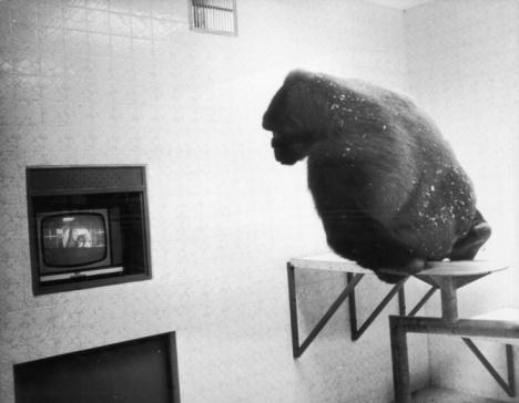 TV-Gorilla