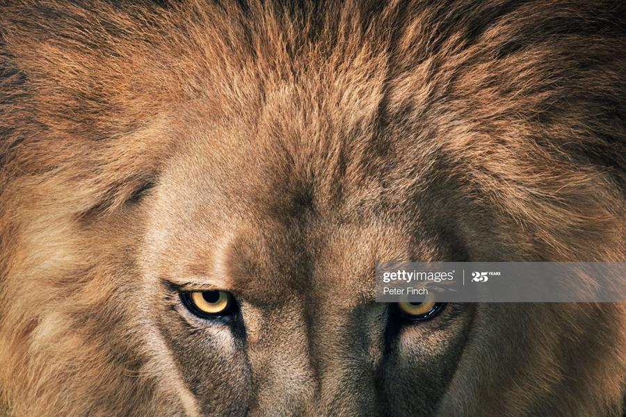 Lion-Leader