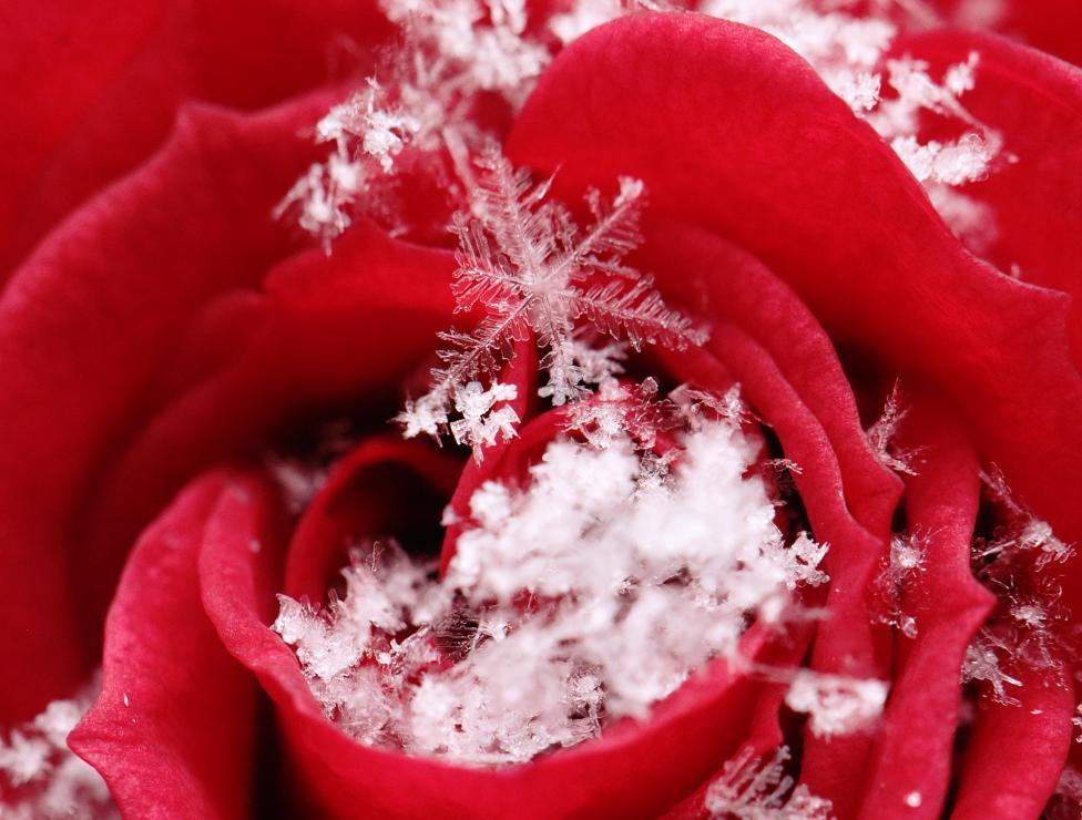 SnowflakesOnRose