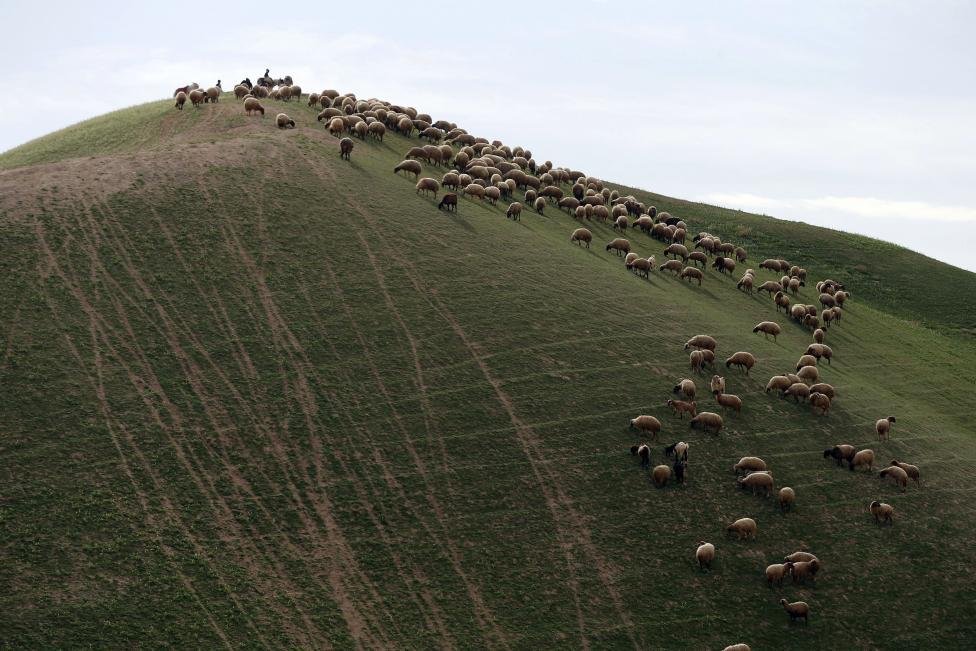 Palestinians herd sheep