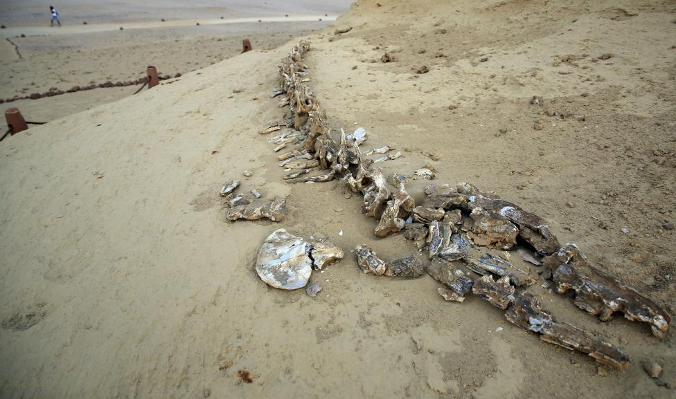 Whale_fossils