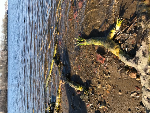 Корни желтой кубышки похожи на щупальца какого-то неведомого речного жителя