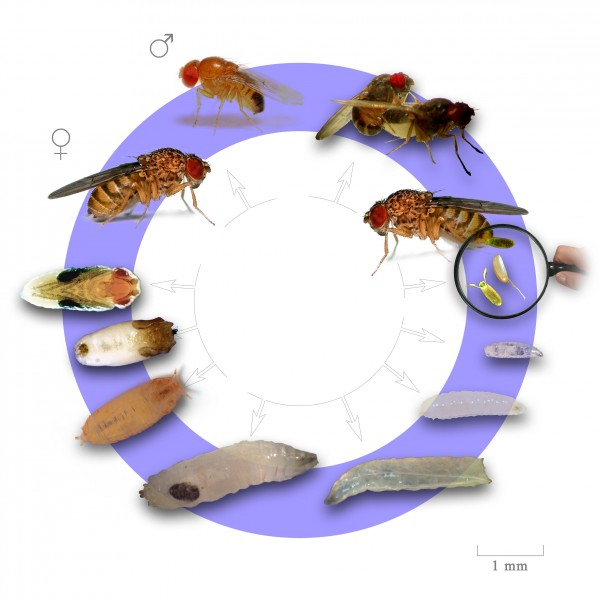 fruit-fly-life-cycle2