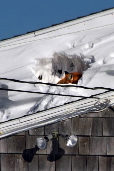лиса на крыше