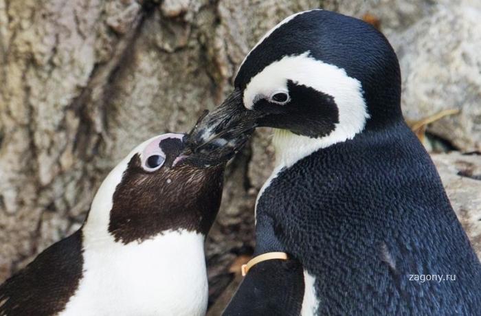 1321258042_187545-gay-penguin-couple