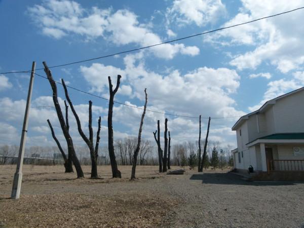 Варварская обрезка деревьев на острове Татышев в Красноярске. Фото: Ольга Смирнова