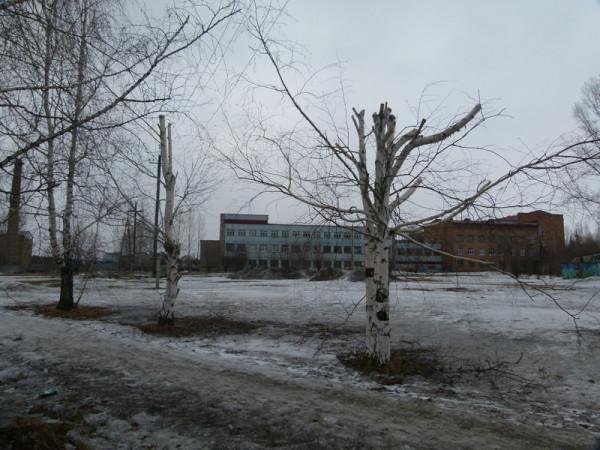 Спиленные березы в Академгородке Красноярска.  Фото: Ольга Смирнова