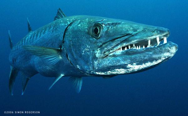 Palin barracuda