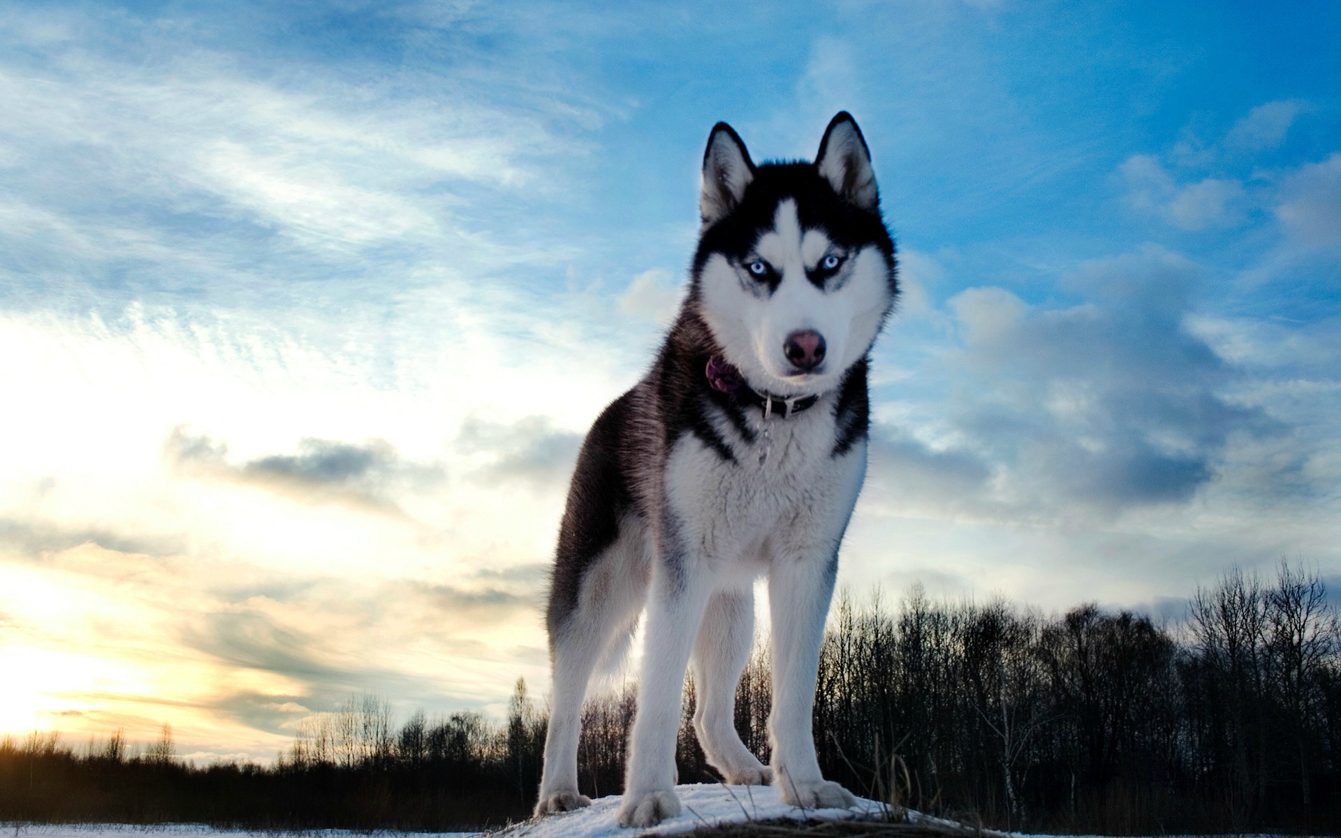 husky_in_forest
