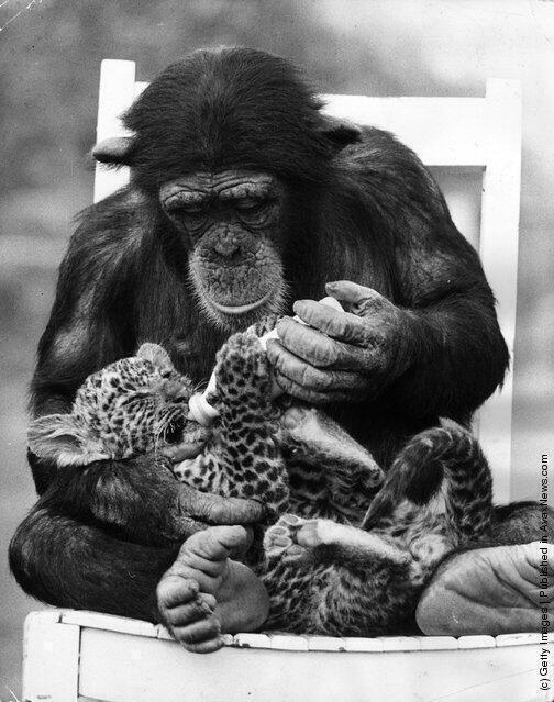chimpanzee_feeding_leopard_Southam_Park_Zoo_UK_1971.