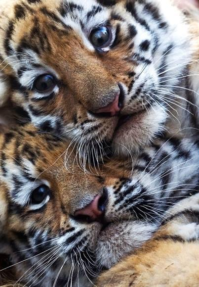 tigers_baby