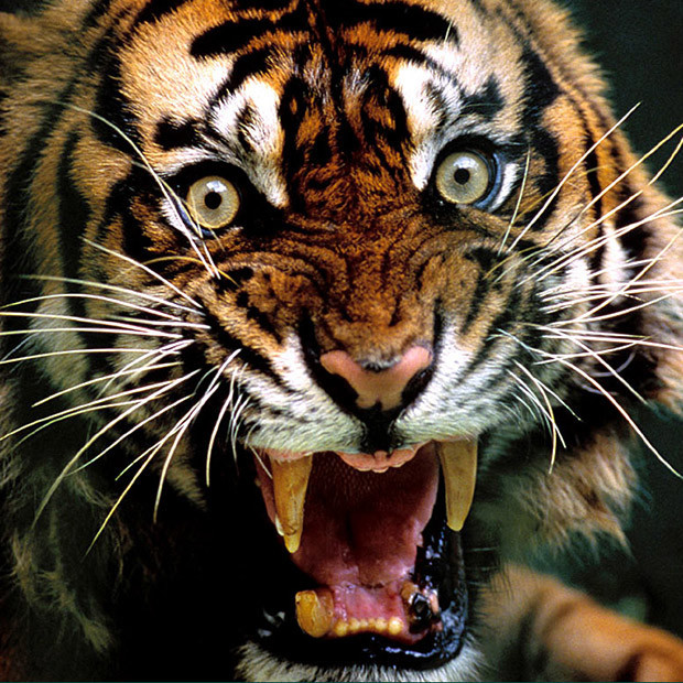 Man-Eating-Tigress-India_022460635492