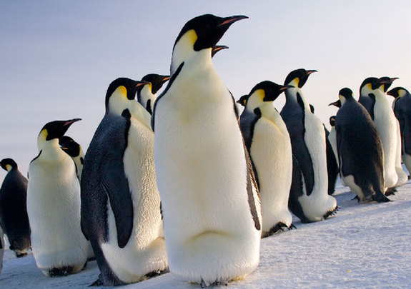 pinguines_on_snow