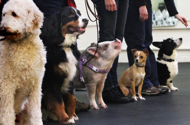 pig_vs_dogs