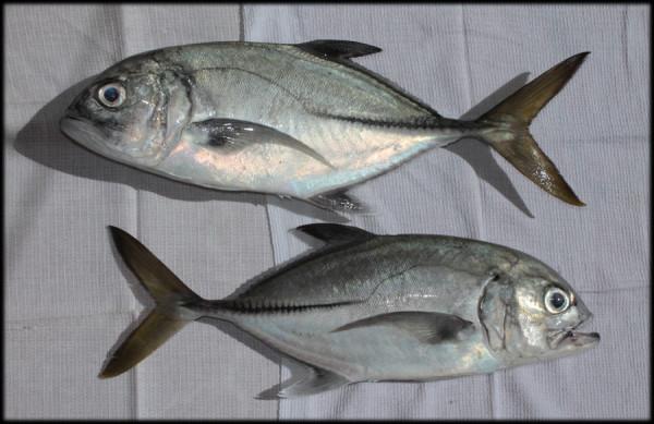Рыбалка в доминикане. Каранкс (хурель)