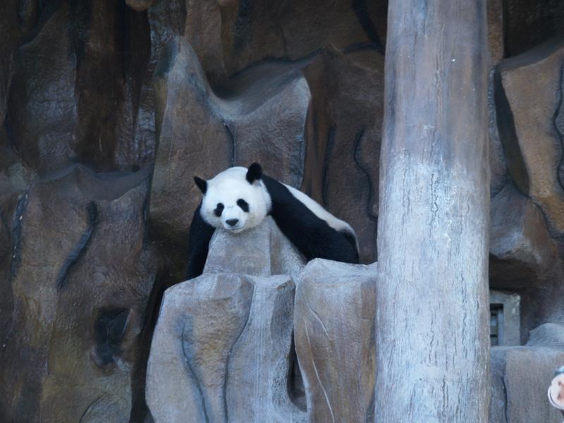 панда зоопарк Чианг мая