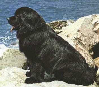 Рабочие собаки.  Происхождение.  Существуют противоположные версии происхождения ньюфаундленда.