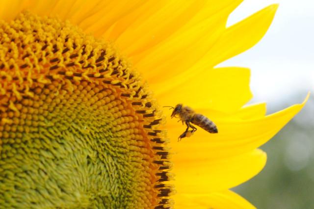 пчела летит на фоне подсолнуха