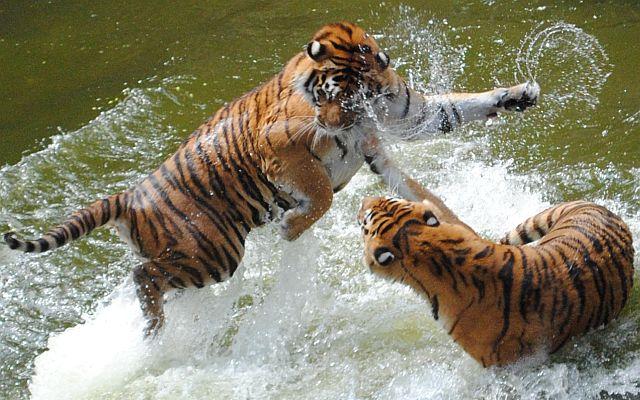 тигры дерутся в воде