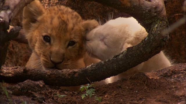 Белый и золотистый львёнок