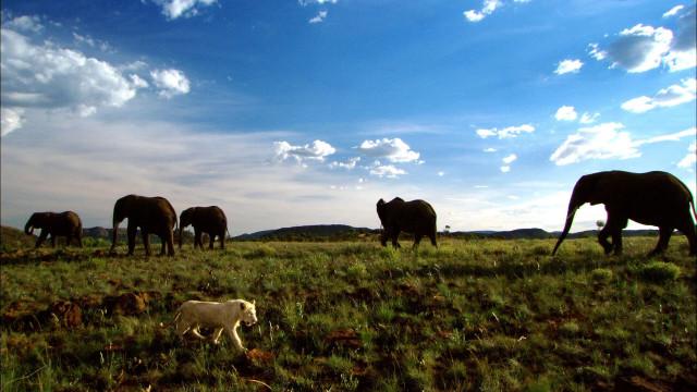 Белый лев на фоне слонов