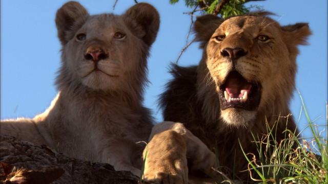 Белый и золотистый львы