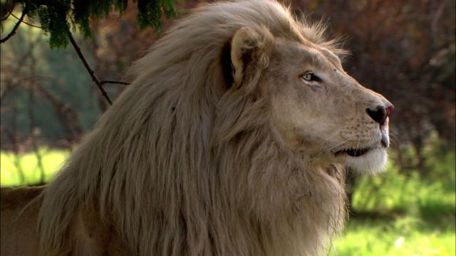 Большой взрослый белый лев