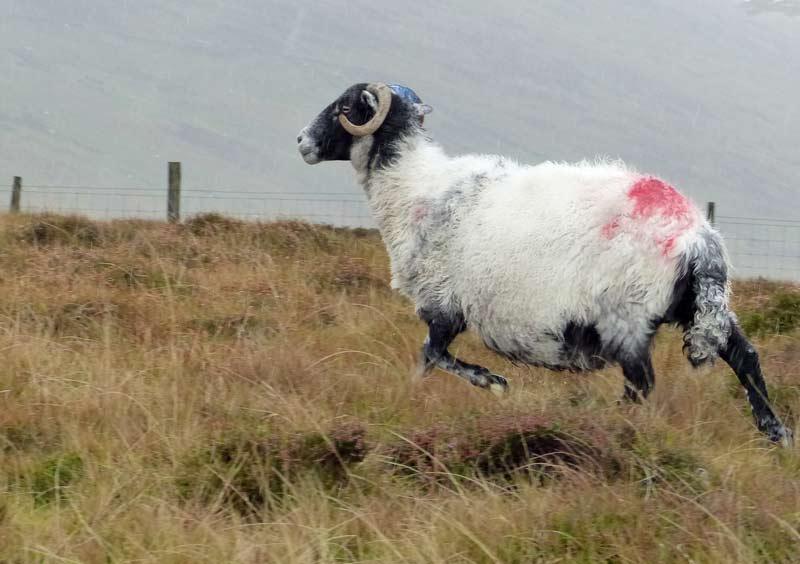 Овца-3232