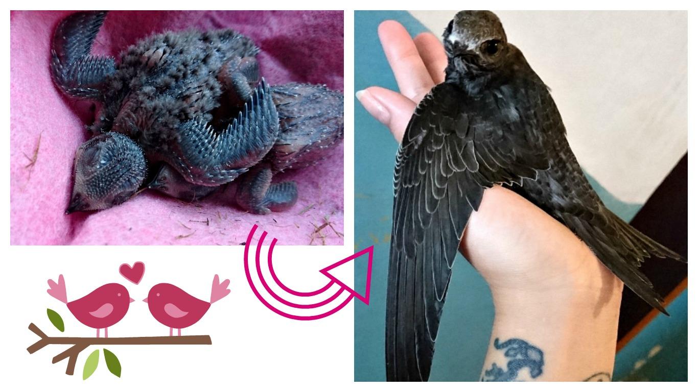 вигодовування пташенят стрижа