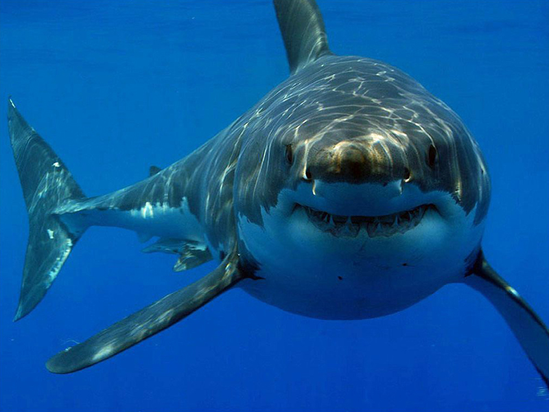 great-white-shark-facts