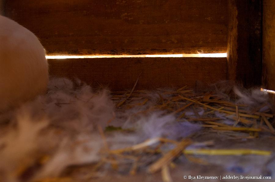 Как рожает крольчиха