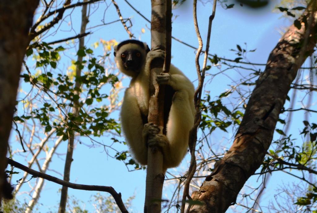 Мадагаскар, лемур