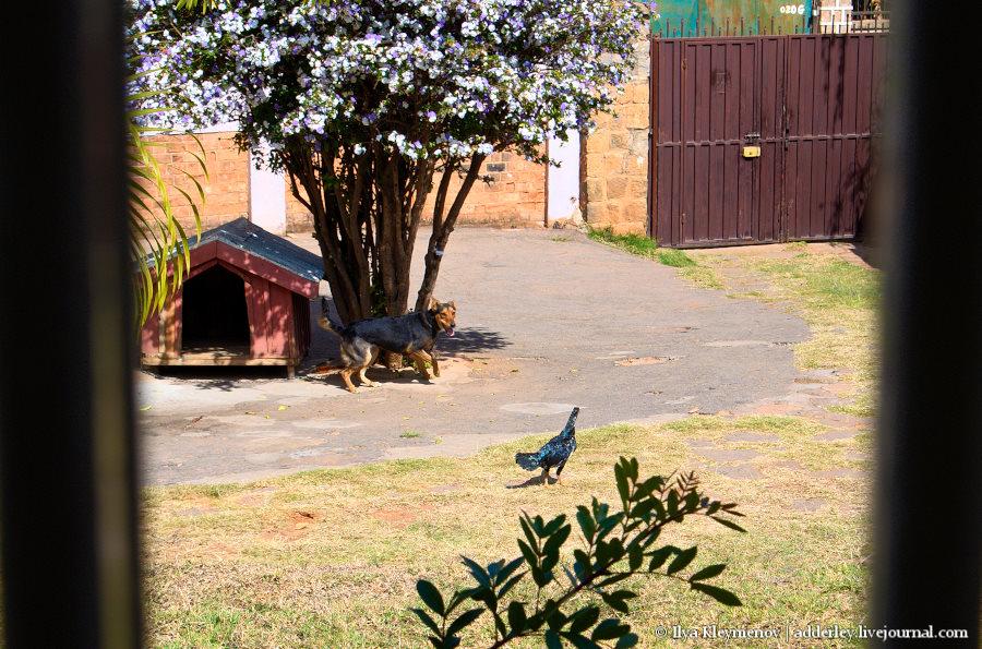 Застрелил соседскую курицу. Пневматика рулит! DSC_0264-07