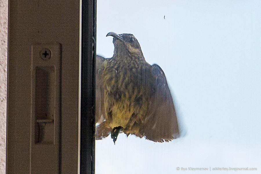 Птицы атакуют Хичкок, перенести, мешает, спать, начинает, Посмотрел, популяции, ничто, угрожает, Может, попытаться, гнездо, другое, место, нашел, бороться, метрах, десяти, Самочка, зеленой