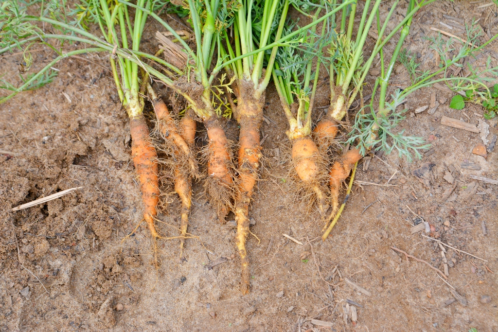 Огород в тропиках. Результат на сегодня очень, кабачки, купить, новые, Иначе, место, своеобразный, уходит, Пофранцузски, влажность, значит, мигом, сгниет, главная, проблема, Красота, тушеные, Вчера, супесчаная, почва