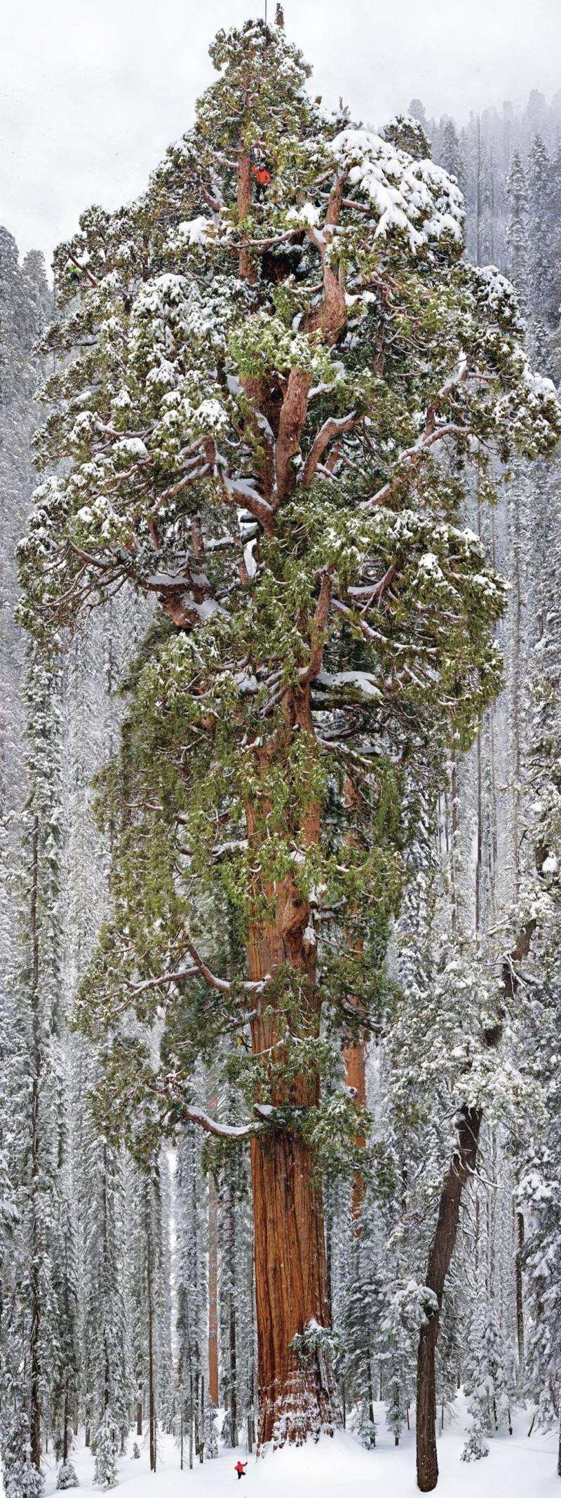 """Дерево \\""""Президент\\"""" в Национальном парке Секвойя"""