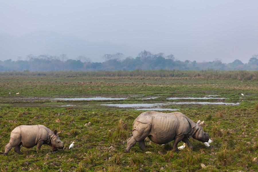 Носороги в Индии живут в штате Ассам