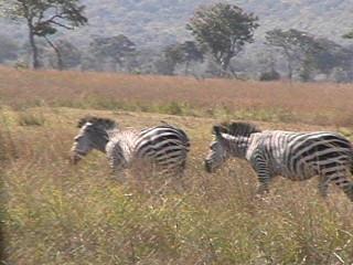 Zebras, Mikumi NP