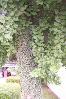 Gingko biloba, with ivy