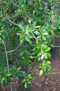 Unidentified tree at Jamestown