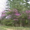 Redbuds and Pines