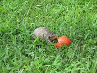 Box turtle eating a tomato