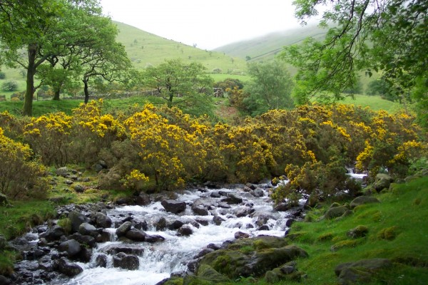 Gorse on Scafell Pike, Lake District, UK