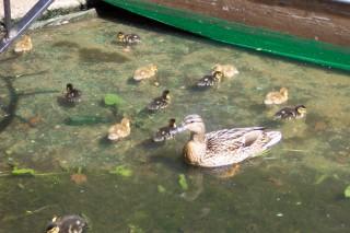 Baby ducklings under Magdalene Bridge, Oxford