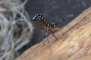 Ichneumon fly laying eggs