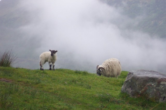 Sheep on Ben Nevis, Scotland