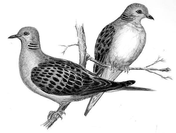 2turtledoves