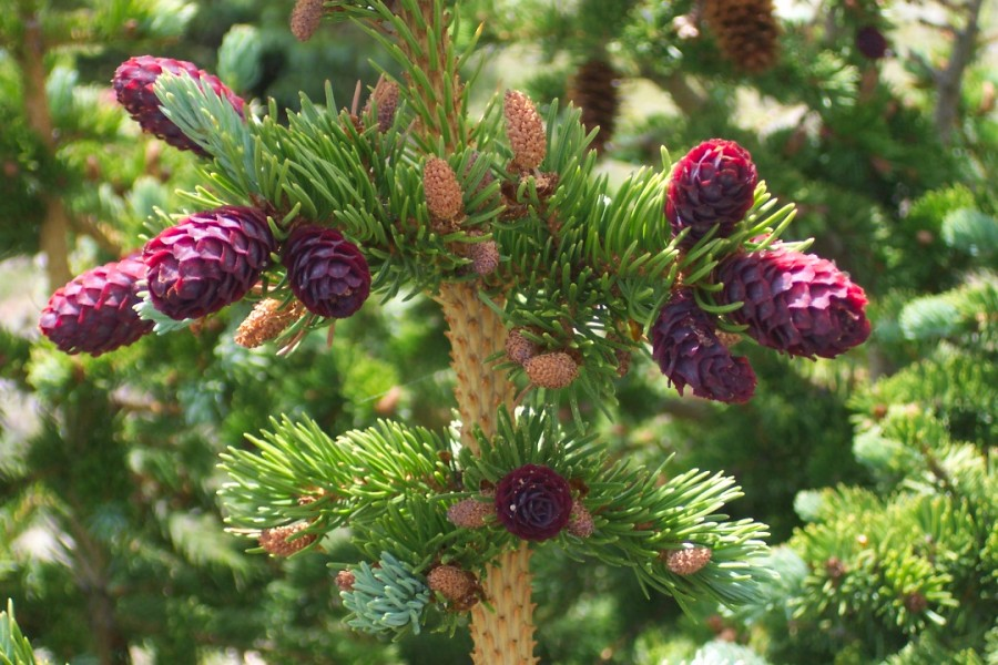 Conifers with ripe cones, Wheeler Peak