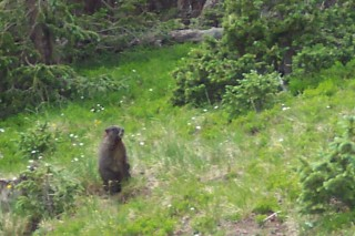 Marmot on Wheeler Peak, NM